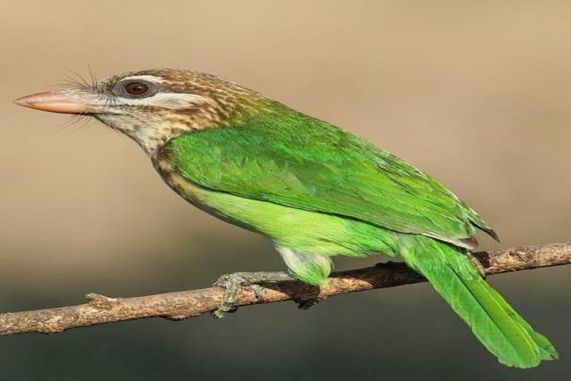 Coppersmith Barbet's  calling in Bangalore, India