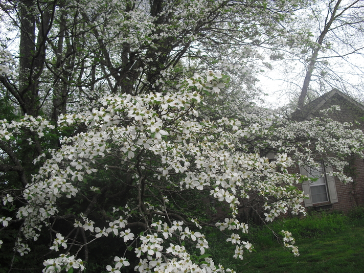 A spectacular appearance by the Dogwoods