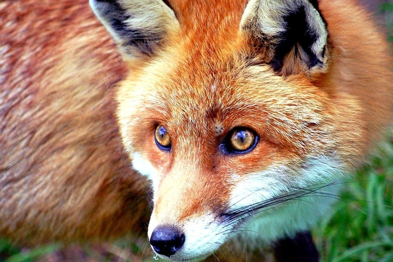 The little red urban fox in London