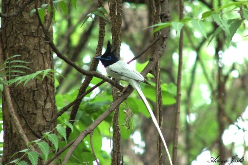 Indian Paradise Flycatcher, Bangalore, India