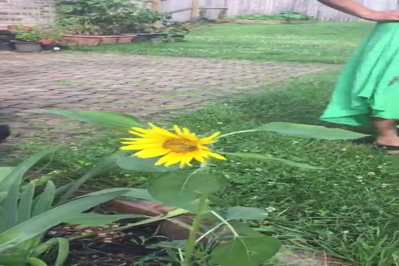 Growing our own Sunflower, Tennessee, USA