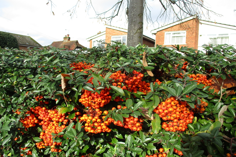 Berries in the garden over winter in the UK