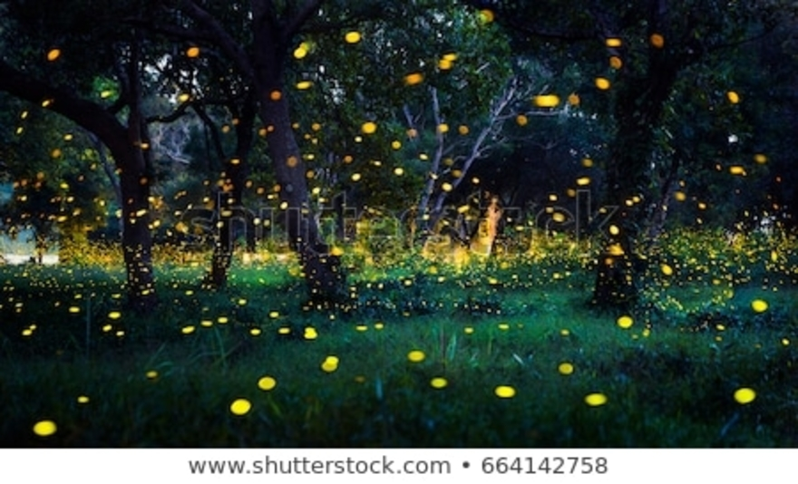 Elkmont Fireflies  in the Smoky Mountains