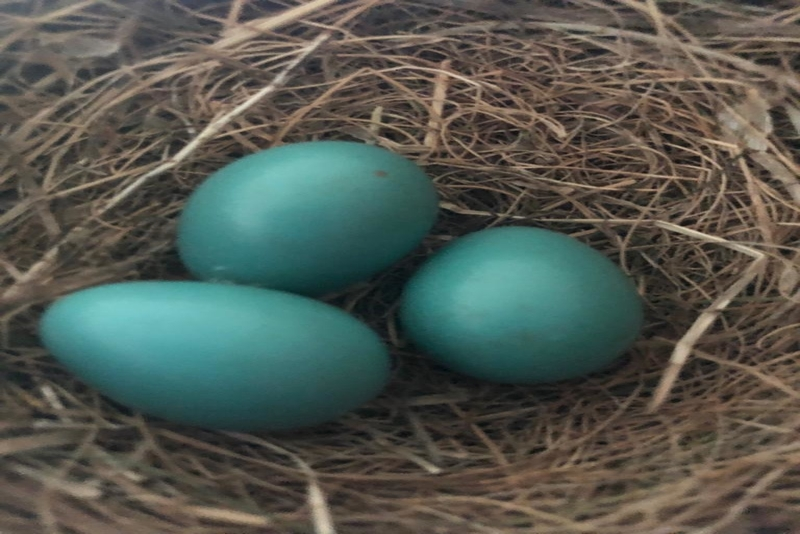 Nesting time for the robins in Tennessee